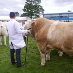 Cattle judging at The Royal Highland Show
