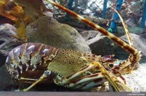 St. Andrews Aquarium Lobster