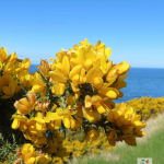 Cove to Pease Bay (close-up of flowering gorse bushes)
