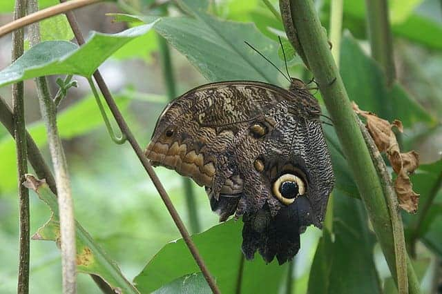 Edinburgh Butterfly and Insect World - Owl Butterfly